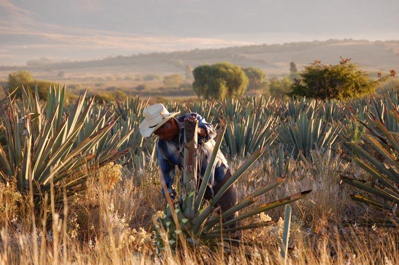 Agave Harvester