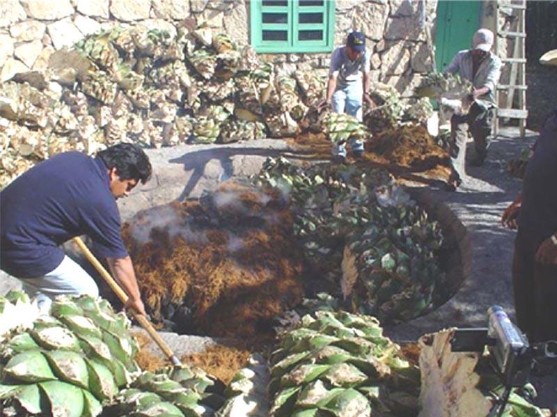 Roasting Agaves